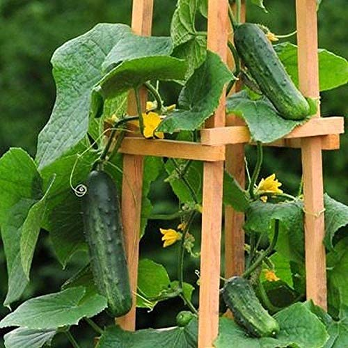 Patio Snacker F1 Hybrid Cucumber Seeds (20 Seed Pack)