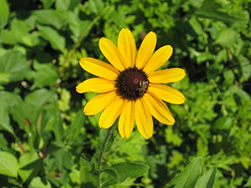 Black Eyed Susan Flower Care