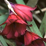 Plant World Seeds - Dierama 'Blackbird' Seeds