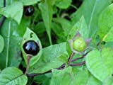 Asklepios-seeds - 500 seeds Atropa belladonna, Deadly Nightshade Wildflower by Asklepios-seeds