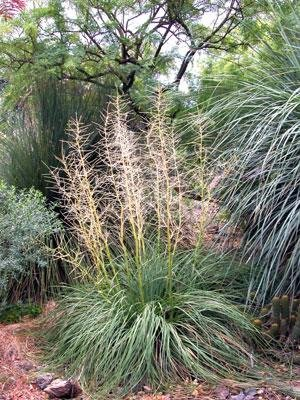10 Seeds Nolina lindheimeriana Devil's Shoestring, Ribbon Grass Plant