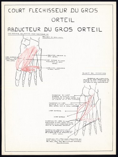 2 Original Anatomical Drawings-HALLUCIS-FLEXOR-ADDUCTOR-MUSCLE-FOOT-TOE-1975