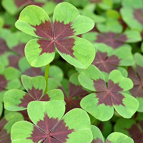 Oxalis Deppei Iron Cross (015 Iron)