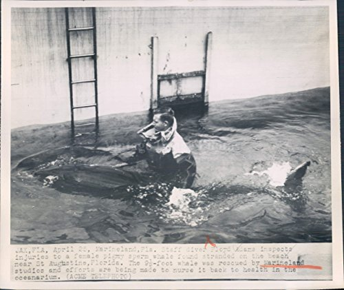 1950 Photo Floyd Adams Female Pigmy Sperm Whale Stranded Beach Florida