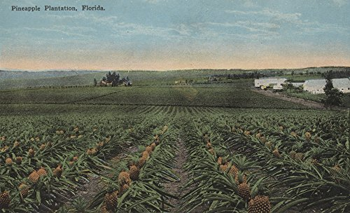 Pineapple Plantation Ready for Harvest in Florida (12x18 Art Print, Wall Decor Travel Poster) ()