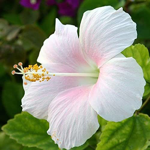 Narutosak 100Pcs Rare Giant Hibiscus Exotic Coral Seeds Home Garden Flowers Decor Plant - White + Pink Hibiscus Seeds