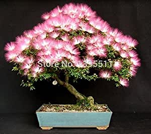 popular bonsai tree seeds 5 Albizia tree seeds and 20 red japanese maple tree only $ 1.99