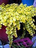 Goldilocks Moneywort - Lysimachia - Creeping Jenny - Live Plant -Gallon Pot