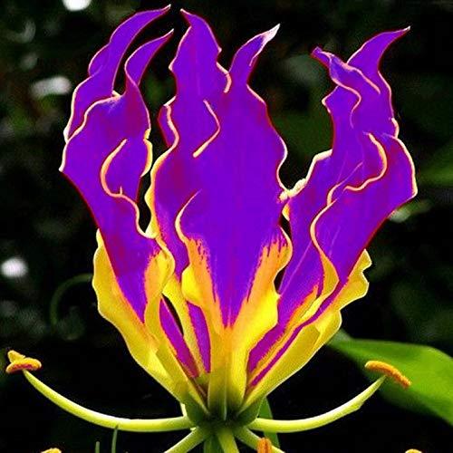 Go Garden ZLKING 1 Piece Purple Flame Lily Bulbs Gloriosa Superba L. National Flower of Zimbabwe: Purple