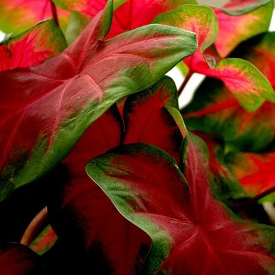 10 Caladium Bulbs Freida Hemple - Full Shade - Dark Red Center with Scarlet Main Veins and Green Border - #1 Red Variety for Pot Plant ()
