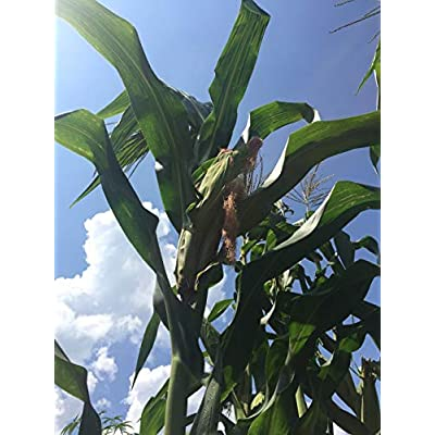 Giant Blue McCormack Corn (Zea Mays) Seeds by Robsrareandgiantseeds UPC0764425789581 Non-GMO, Organic, USA Grower, Farm, Showy, Open Pollinated, Recipe, Flour, Native, Sacred, Landrace, 1302 Package of 35 Seeds : Garden & Out