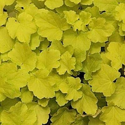 AchmadAnam - Live Plant - 18 Heuchera 'Citronelle' - Coral Bells - Alumroot : Garden & Outdoor