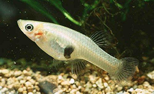 Aquarium Plants Discounts Live Mosquito Fish - Mosquito Larvae Pond Control