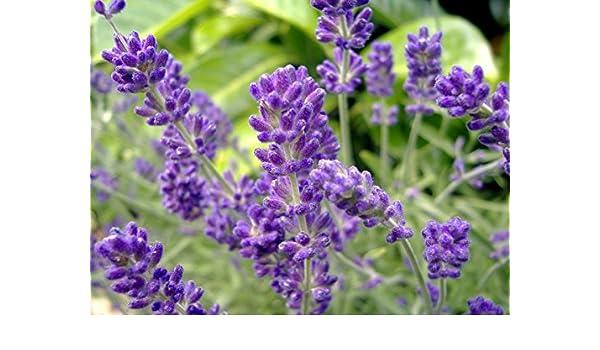 Non-GMO about 7,000 seeds Bulk Lavender Seeds 1//4 oz English Lavender Seeds