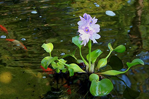 Zen Hobby Water Hyacinth - Pond and Aquarium Plant