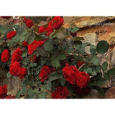 Red Climbing Rose Bush (1 Plant) Border, Cut Flowers, Ornamental, Outdoor, Vines : Garden & Outdoor