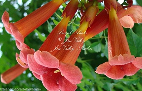 (Campsis Radicans Trumpet Flower Vine Seeds Clusters of Orange Trumpet Flowers)