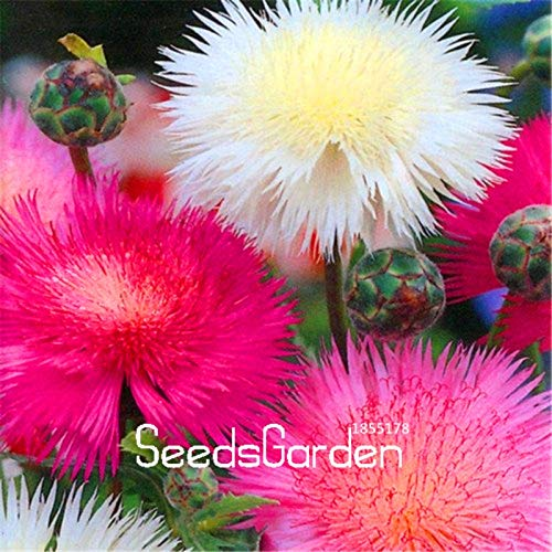 Seed 100 Pcs A Lot Genuine!Sweet Sultan Imperialis Bonsai Plants Home Flower Pots Balcony Flower Flores