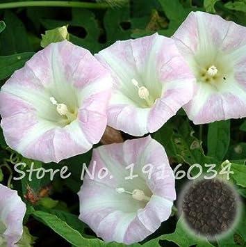 Amazon com : 10 Pcs/bag Blue Morning Glory Seeds Very Easy Grow Rare