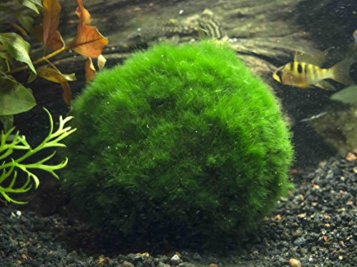 3 Giant Marimo Moss Balls XL Size + 1 Free - Very - 2 to 2.5 Inches, 8 to 15 Years Old by Aquatic Arts