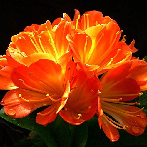 YHCWJZP 1Pc African Kaffir Lily Clivia Miniata Seeds Beautiful Garden Yard Flower Plant ()