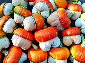 Gourd Ornamental - MINI RED TURKISH TURBAN - Cucurbita pepo - 5 seeds -