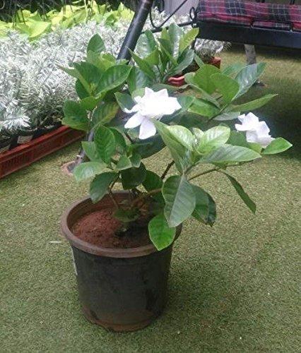 Vedanta Sales Gardenia/Cape Jasmine Live Natural Plant(Pot...