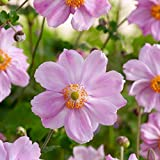 "Queen Charlotte Japanese Anemone - Windflower - Fall Flowering - 2.5"" Pot"