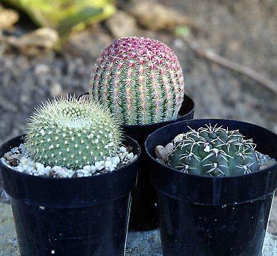 3 Flowering Cactus Rubrispinus, Scarlet Crown & a Chin Cactus in 2.5 inch pots
