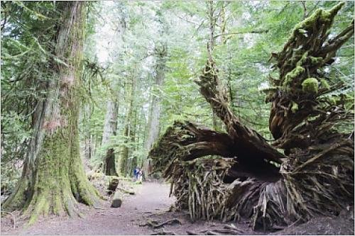 Photographic Print of Old growth forest in Cathedral Grove, MacMillan Provincial Park, Vancouver