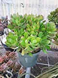 Jade Plant Crassula ovuta Easy to Grow 6'' Pot Garden Houseplant 10-12' inch Live
