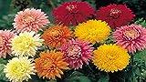 Mixed Chrysanthemum Seeds - JDR Seeds