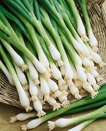 Tokyo Long White bunching Onion Seeds (80 Seed Pack)