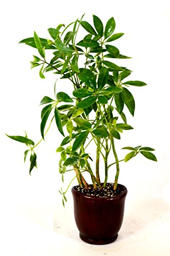 Umbrella Plant - 9GreenBox - Hawaiian Umbrella Schefflera Tree - Ceramic Pot