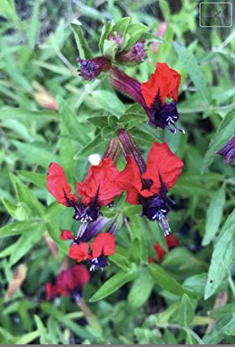Details About Cuphea llavea ~ Bat Face ~ Live Plant (Bat Flower Plant)