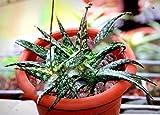10 Seeds Aloe Rauhii Exotic Agave Gel Succulent Rare Desert Plant Seed