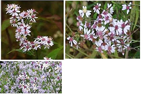 WILD WHITE CHERRY CTR. ASTERS OVER 100 SEEDSRARE FLOWER VERY PRETTY (Ctr 100)