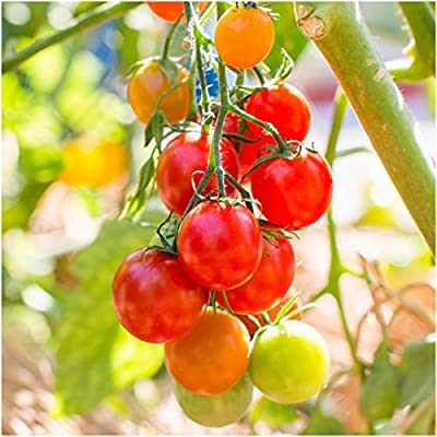 Package of 80 Seeds, Large Red Cherry Tomato (Solanum lycopersicum) Non-GMO Seeds by Seed Needs