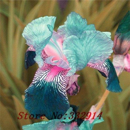 (Sale!!! , hot selling ,100 pink Iris Seeds, popular perennial garden flower ,gorgeous cut flower)