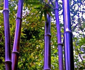100PC semillas raras púrpura de bambú, semillas hermosas bonsai, SVI