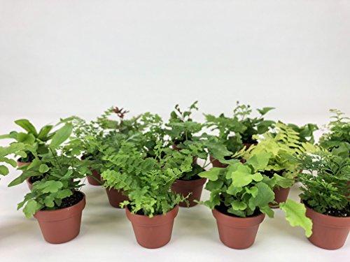 Super Micro Ferns 2 Plants 1 5 Pots Terrarium Plants Fairy