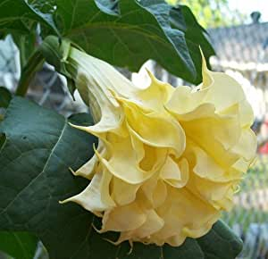 Plant World Seeds - Datura Golden Flames Seeds
