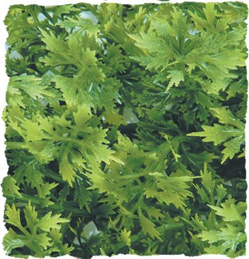 Image of Zoo Med Laboratories SZMBU14 Natural Bushy Australian Maple, Small