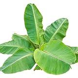 ice cream banana plant - Banana Plant Fruit Tree Musa DWARF CAVENDISH LIVE PLANT Edible tropical garden