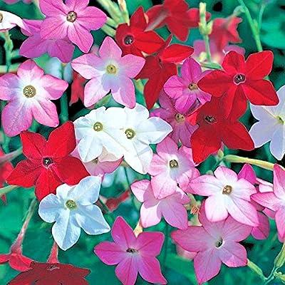Flowering Tobacco Mix Seeds Hummingbirds Butterflies Garden/Patio Container cb001 : Garden & Outdoor