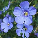 Perennial Blue Flax Seeds - 1/4 Pound, Light Blue Flowers