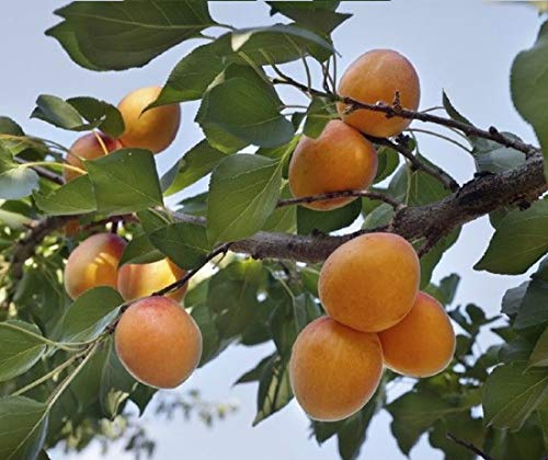 Dried Turkish Apricots (25 LBS) By SpiritOne + GIFT Coconut Shell Massage Ball by SpiritOne (Image #3)