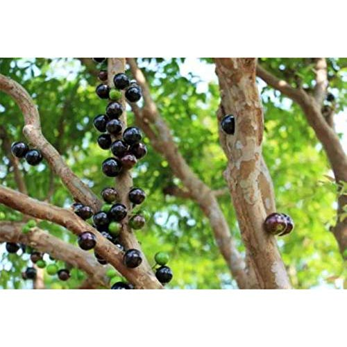 Myrciaria Cauliflora Tropical Fruit Tree 20-25 Inch Height in 3 Gallon Pot #BS1 by iniloplant (Image #3)
