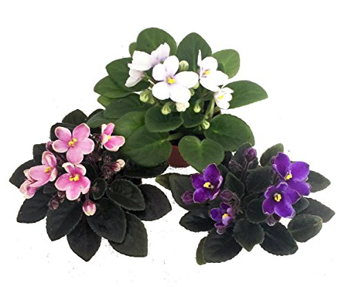 miniature-african-violet-3-plants-2-pot-great-for-terrariums-fairy-gardens
