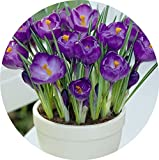 15 st cke safran zwiebeln crocus sativus pflanzen sie ihren eigenen safranpflanze und. Black Bedroom Furniture Sets. Home Design Ideas